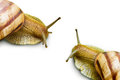 Two grape snail Royalty Free Stock Image