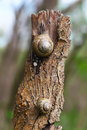Two grape snails on the tree Stock Photo