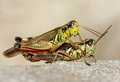 Two grasshoppers a close up of the Royalty Free Stock Photos