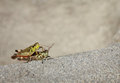 Two grasshoppers with grey copy space Royalty Free Stock Images