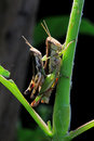 Two Grasshoppers Having Sex