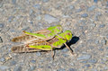 Two grasshoppers this is a photo of the Royalty Free Stock Photography