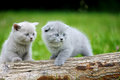 Two gray kitten on tree Royalty Free Stock Photo