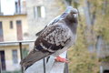 Two Gray Pigeons
