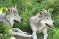 Two grays wolfs Royalty Free Stock Image
