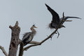 Two great blue herons ardea herodias on a tree Royalty Free Stock Image