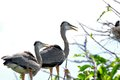 Two Great blue herons in nest Royalty Free Stock Photo