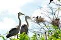 Two Great blue herons in nest in wetland Royalty Free Stock Photo