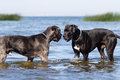 Two great dane Royalty Free Stock Photos