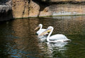 Two great white pelicans close up of swimming Stock Photography