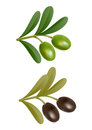 Two green and black olives on branch with leaves Stock Image