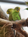 Two Green Budgies