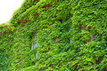 Two green ivy covered windows facade of building keene new h newspaper downtown hampshire Royalty Free Stock Photography
