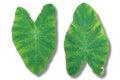 Two green Lotus