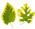 Two green mulberry leaves Stock Images