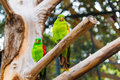 Two green parrots with a red beak sitting on a branch on a background Stock Photos