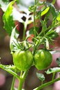 Two green Tomatoes Royalty Free Stock Photo