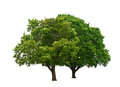 Two green trees isolated white Royalty Free Stock Photo