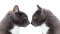 Two grey cat. Stock Image