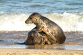 Two grey common seal on beach playing in sea rolling around together mating Stock Photo