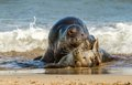 Two grey common seal on beach playing in sea rolling around together mating Stock Photography