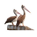 Two grey pacific pelican stand on concrete isolated white with clipping path Stock Images