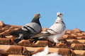 Two grey pigeon sitting on the old roof Stock Photography
