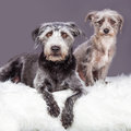 Two grey scruffy terrier dogs different sizes adorable little crossbreed laying on a white furry blanket Royalty Free Stock Photo