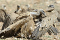 Two griffon vultures fighting on ground over food Royalty Free Stock Image