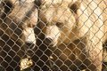 Grizzly Bears behind a fence Royalty Free Stock Photo