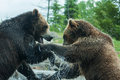 Two grizzly brown bears fight fighting or playing Royalty Free Stock Image