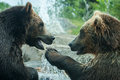 Two grizzly brown bears fight fighting or playing Stock Photography