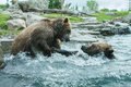 Two grizzly brown bears fight fighting and playing Royalty Free Stock Photos