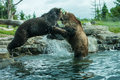 Two grizzly brown bears fight fighting and playing Royalty Free Stock Images