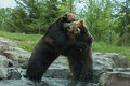 Two grizzly brown bears fight fighting and playing Royalty Free Stock Photo