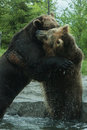 Two grizzly brown bears fight fighting and playing Stock Image