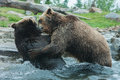 Two grizzly brown bears fight fighting and playing Stock Photos