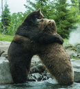 Two grizzly brown bears fight fighting and playing Stock Photography