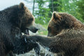 Two grizzly brown bears fight soft focus fighting or playing Stock Photo
