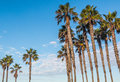 Two Groups of Tall Palm Trees with Blue Sky Royalty Free Stock Photo