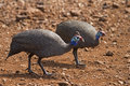 Two Guinea-fowl searching for food Stock Photos