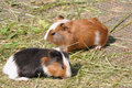 Two guinea pigs cavia porcellus on the floor Stock Photo