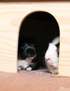 Two guinea pigs in the shelter Royalty Free Stock Photo