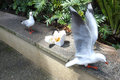 Two gulls discovered forgotten box of take-away food Royalty Free Stock Photo