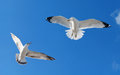 Two Gulls Flying and fighting Royalty Free Stock Photo