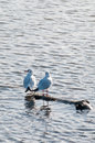 Two guls seaguls standing on a floating log Royalty Free Stock Image