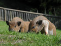 Two hairy pigs lying in the grass