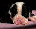 Two and a half week Old English Bulldog puppy Royalty Free Stock Photo