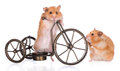 Two hamsters with a bicycle small adorable on Royalty Free Stock Images