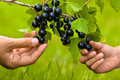 Two hands, child and women, picking berries of black currant tog Royalty Free Stock Photo
